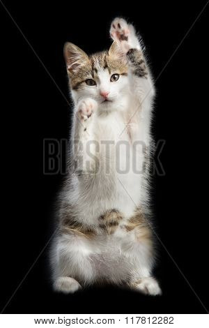 Trained kitten stands on two paws lifting the second paws up on a black background