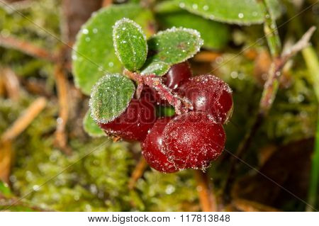Lingon Berry Frozen By Winter