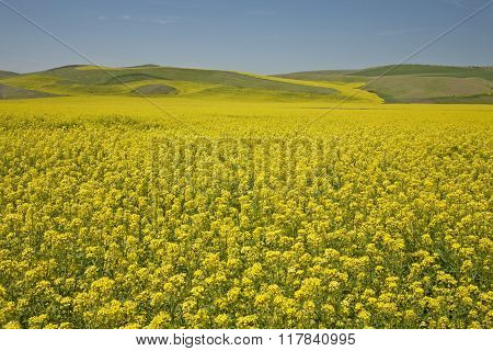 Canola Field In Palouse