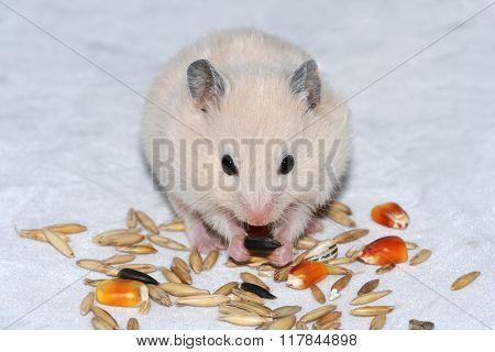 White Hamster  Eating Seed