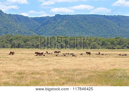 Herd A Wildebeests In Ngorongoro