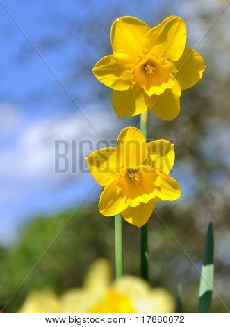 Daffodil Blossoming In Spring