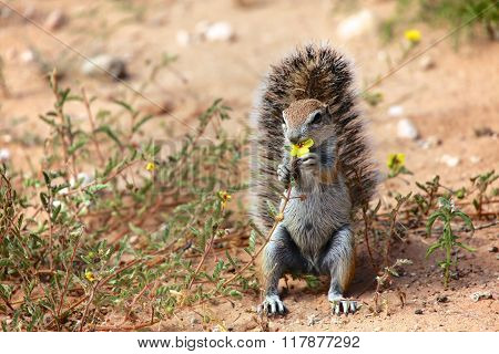 Ground Squirrel Eating A Flower At Kgalagadi