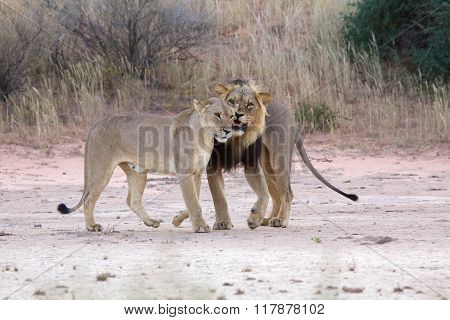 Lions Kgalagadi Transfrontier Park South Africa