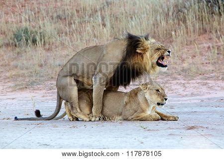 Lions Mating At Kgalagadi