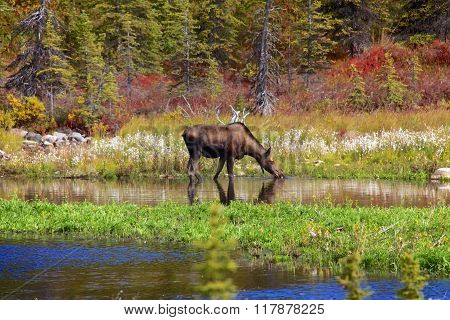 Moose At Denali National Park
