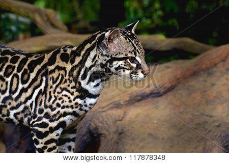 Nice Ocelot Or Tigrillo Or Leaopardus Pardalis Or Manigordo