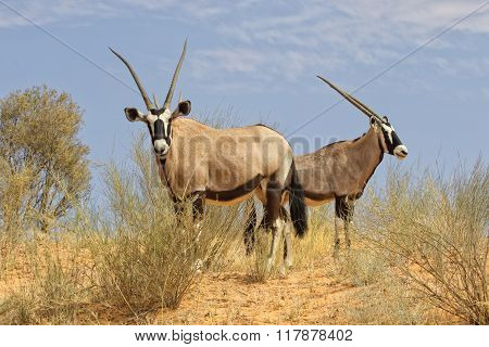 Oryx At Kgalagadi Park