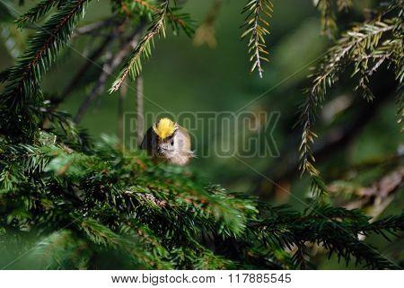 Sunny Goldcrest In Dark Firry Forest