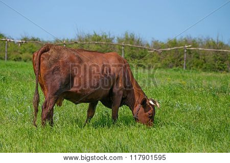 cow Is Grazing On Pasture