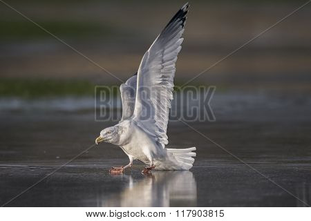 Herring Gull, Larus Argentatus, Skating On A Frozen Puddle