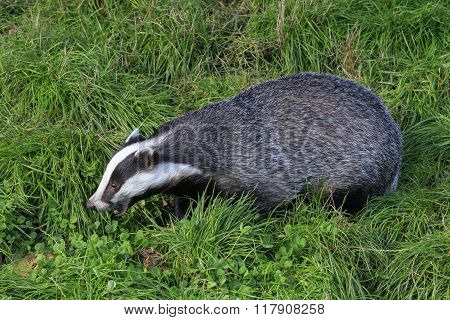 A Badger on grass looking for food