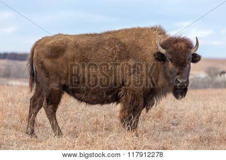 American Bison, Kansas grassland