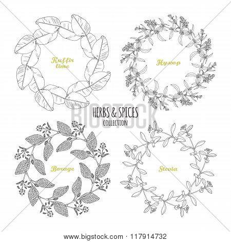 Spicy herb circle frames collection. Hand drawn kaffir lime, borage, hyssop, stevia