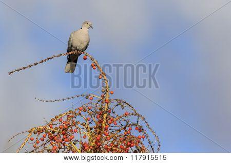 Collard Dove (streptopelia Decaocta)