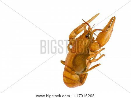isolate arthropods crustaceans cancer