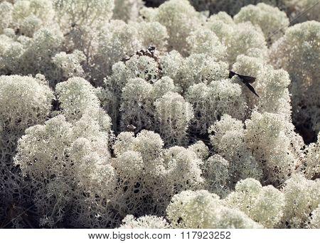 Reindeer lichen, close-up