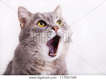 The Gray Cat Looks Up, Mewing And Having Widely Opened A Mouth
