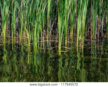 Graphic texture and swirling reflection of bullrushes a on a summer pond