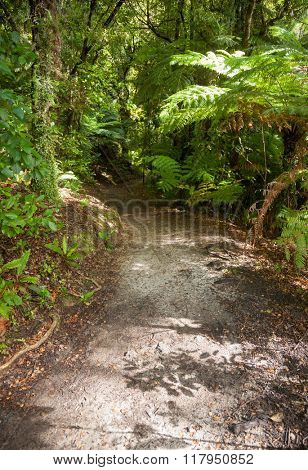 Pathway through dense temperate rainforest at Queen Charlotte Track in Marlborough Sounds South Island New Zealand