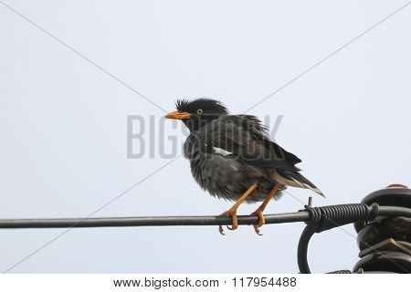 Myna bird perched on electrical wire. Common myna, Indian myna, Mynah (Acridotheres tristis)