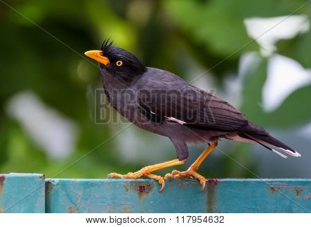 Myna bird standing. Common myna, Indian myna, Mynah (Acridotheres tristis)
