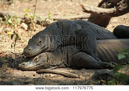 Mating Komodo Dragons