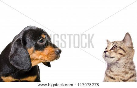Portrait of Scottish Straight kitten and puppy breed Slovakian Hound