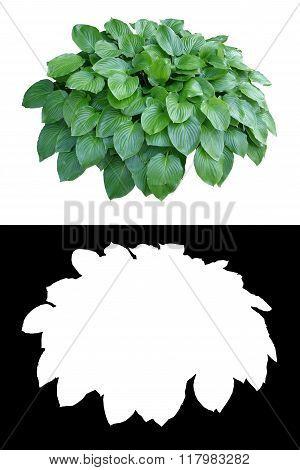 Decorative evergreen bush