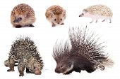 Porcupines and hedgehogs set isolated on white background poster