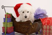 west highland terrier with santa hat on sitting in a sled surrounded by christmas gifts poster