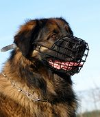 purebred mountain leonberger and his muzzle: dangerous watching dog poster