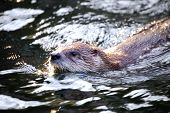 The European Otter floating in the water poster
