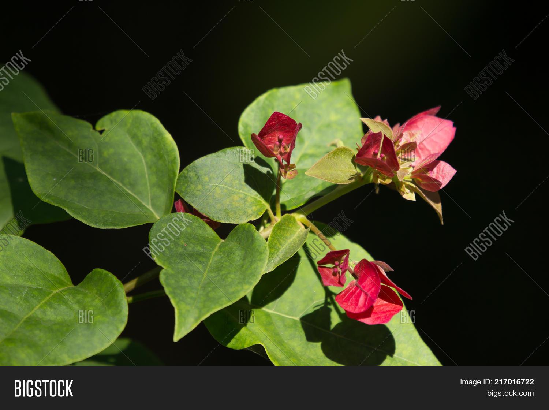 Yellow hibiscus flower image photo free trial bigstock yellow hibiscus flower in black dard background izmirmasajfo