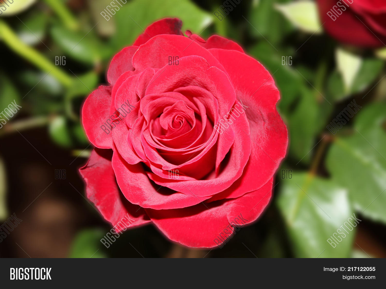 Rose Flower Dark Red Image & Photo (Free Trial) | Bigstock