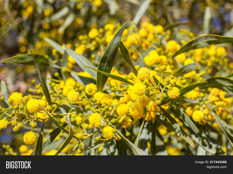 Blossoming Mimosa Tree Image Photo Free Trial Bigstock