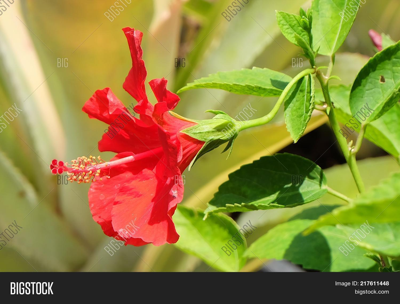 Beautiful flower fresh image photo free trial bigstock beautiful flower a fresh red hibiscus flowers or bunga raya on green leaves blooming in green izmirmasajfo