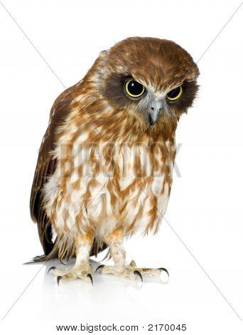 New Zealand Owl