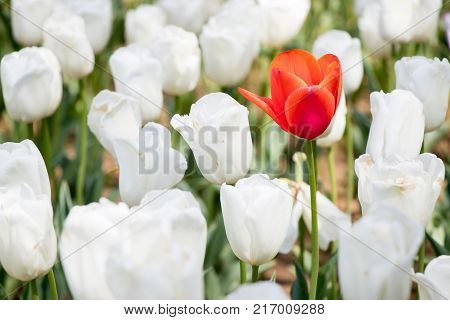 Red tulip growth among white tuplip background (Concept for differentiate from other leader or unique)