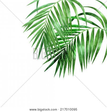 Watercolor palm leaves on white background. Hand drawn illustration