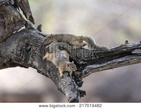 Two tree squirrel (Paraxerus cepapi) in a tree, Namibia