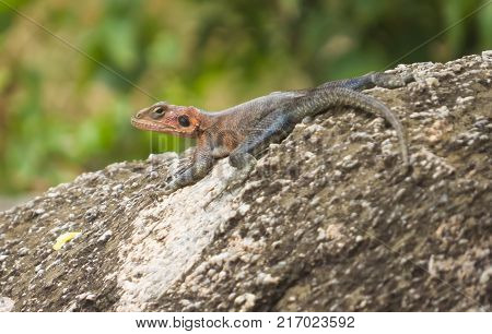 Red headed Agama Lizard on a rock