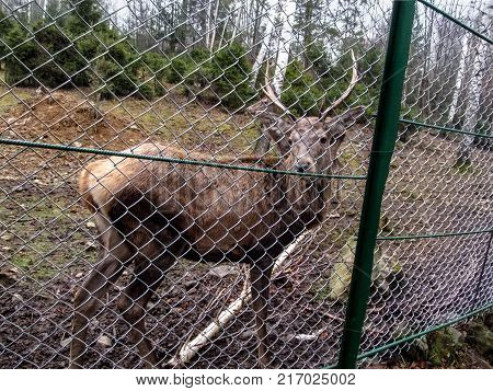 A young noble reindeer with horns stands in the confinement and looks into the camera. Royal stag in the reserve close-up in the background other deer and coniferous forest with birches