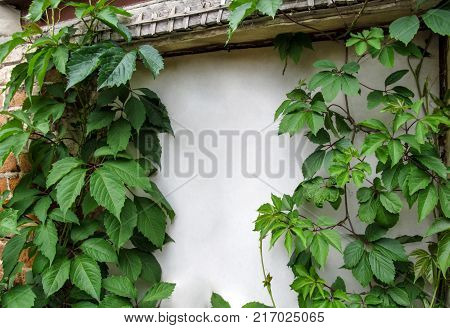 Beautiful vintage background with white copy space for text - vines of Parthenocissus quinquefolia on old wall. Lianas of the five-leaved ivy with large green floral leaves cover brick wall and a white door along the perimeter