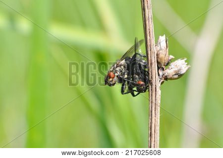 Couple of house flies mating in wild. Macro of fly insect close up in the grass.