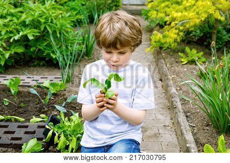 Cute little preschool kid boy planting green salad in spring. Happy child having fun with gardening. Kid helping in domestic vegetable garden with tomatoes, cucumber