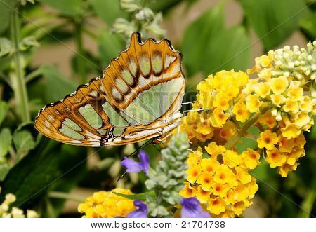 Philaethria Dido On Yellow Flowers