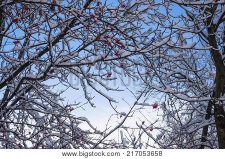Rowan tree, mountain ash, with red berries in the snow, winter Wallpapers concept.