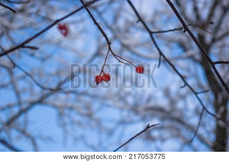 Rowan tree, mountain ash, with red berries in the snow, close up, winter Wallpapers concept.