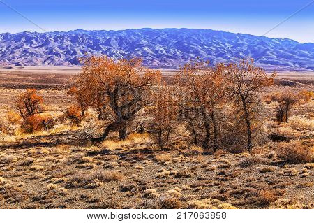 A rare tree of turanga in the desert steppe of Kazakhstan of the national reserve  Altyn-Emel
